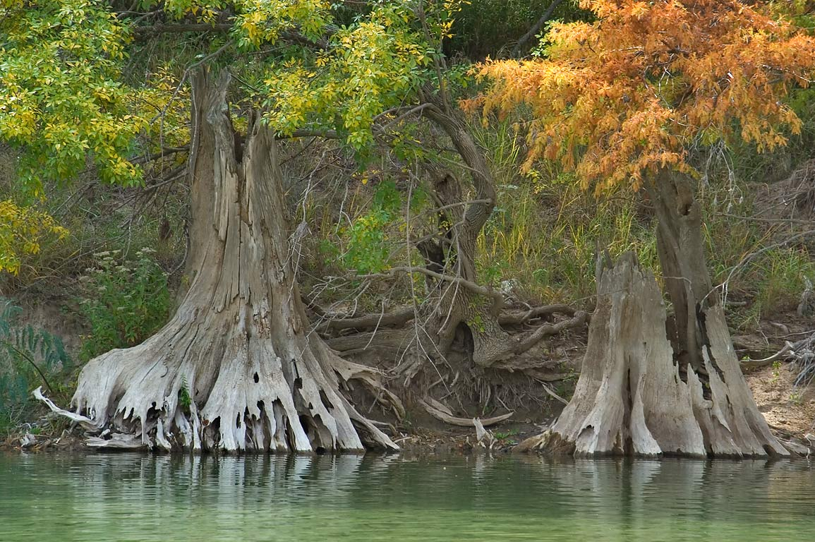 Trunks of dead trees in north area of Pedernales Falls State Park. Johnson City, Texas