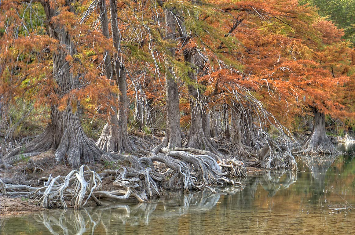 Roots of cypress trees in north area of Pedernales Falls State Park. Johnson City, Texas