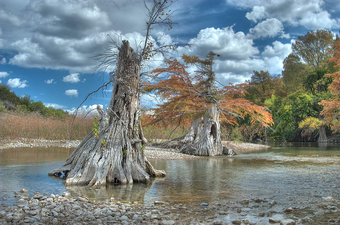Dying cypress trees in north area of Pedernales Falls State Park. Johnson City, Texas