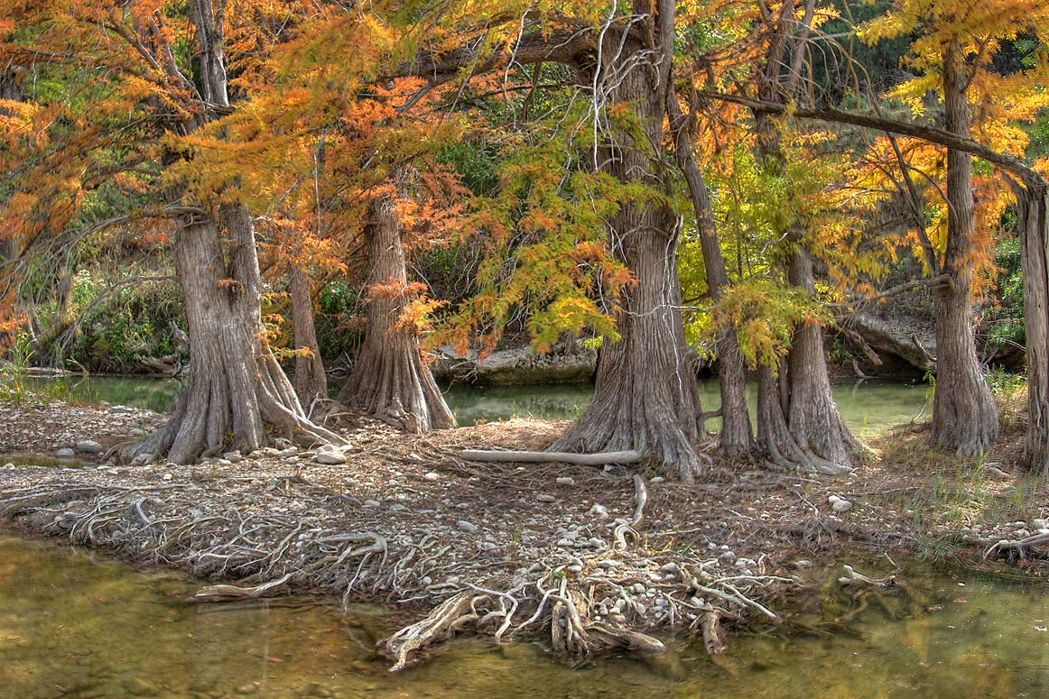 Cypresses on a river island in north area of...Falls State Park. Johnson City, Texas