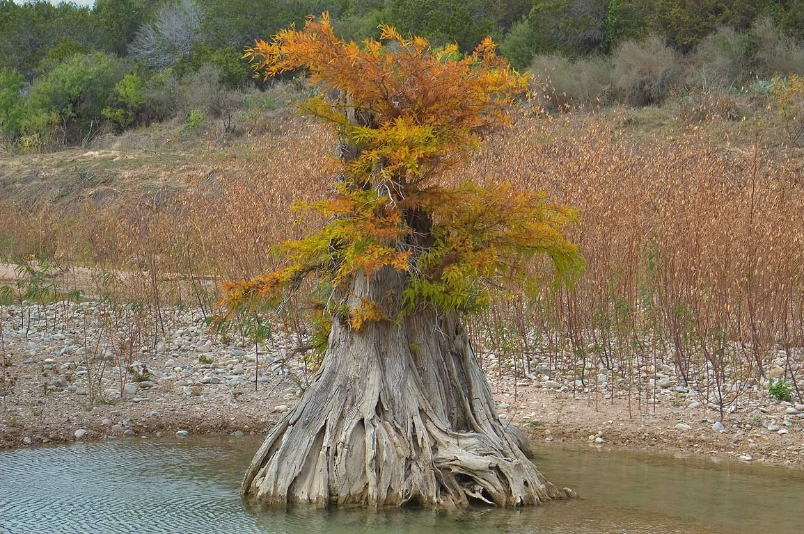 "Cypresses ""bonsai"" in north area of Pedernales Falls State Park. Johnson City, Texas"