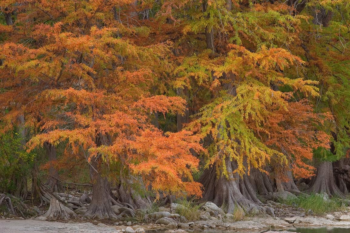 Red cypress foliage in north area of Pedernales Falls State Park. Johnson City, Texas