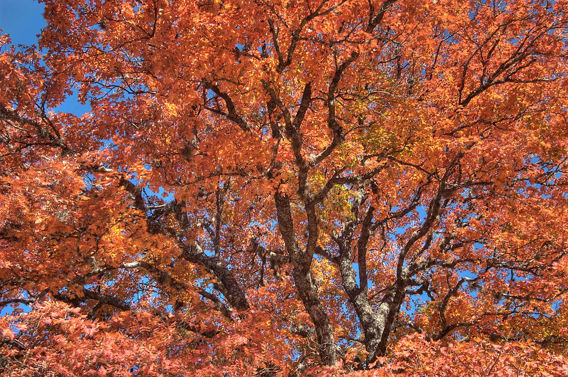 Fall foliage of bigtooth maple on East Trail in...State Natural Area. Vanderpool, Texas