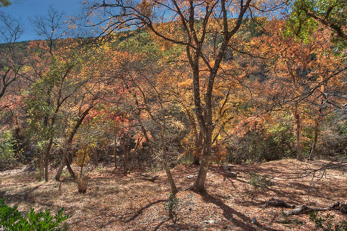 Maples near East Trail in Lost Maples State Natural Area. Vanderpool, Texas