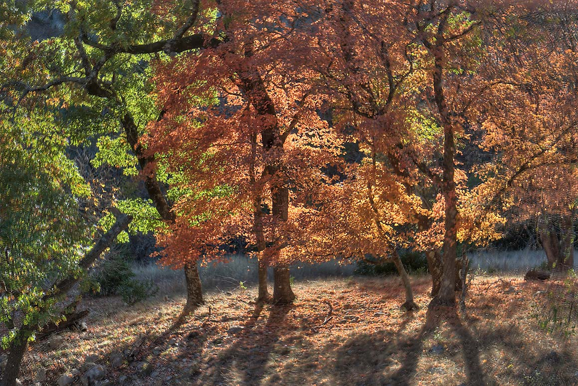 Back-lit trees on East Trail in Lost Maples State Natural Area. Vanderpool, Texas