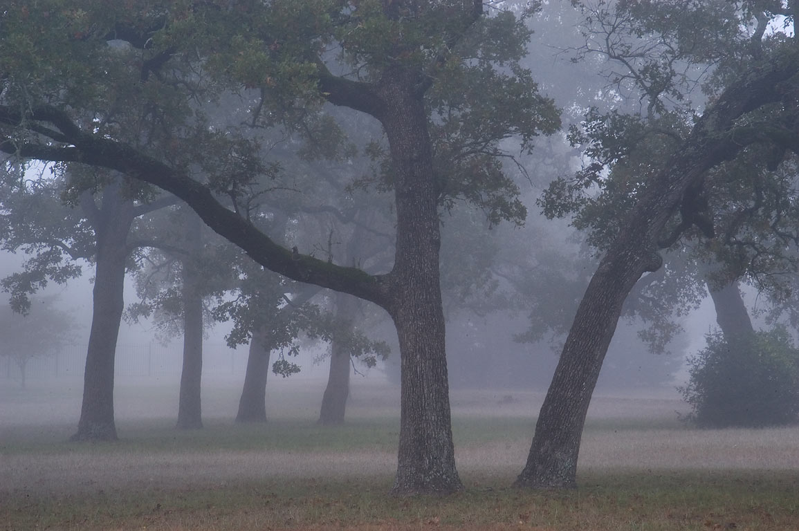 Oaks in Boonville Cemetery in fog. Bryan, Texas