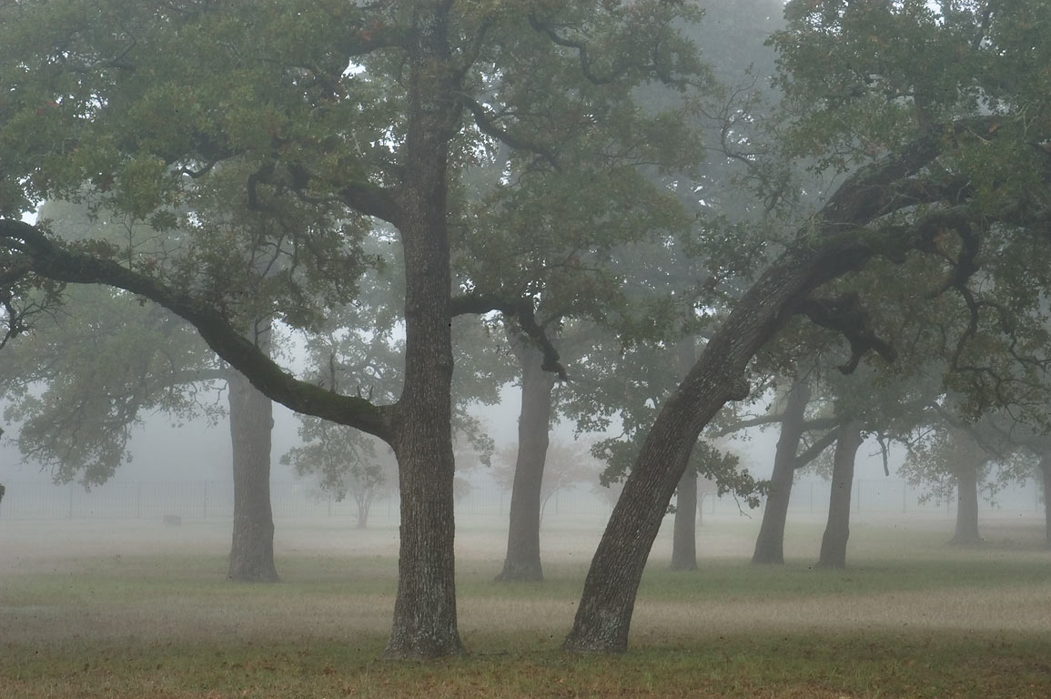Trees in Boonville Cemetery in fog. Bryan, Texas