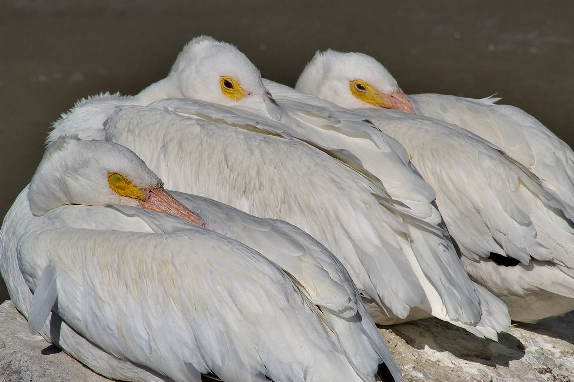 White pelicans near Pier 21 at cold windy weather. Galveston, Texas