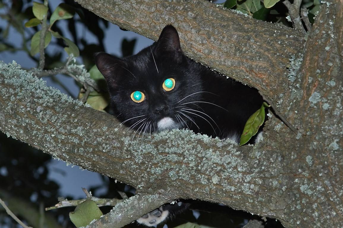 Stray cat hiding in a crown of an oak near TAMU...M University. College Station, Texas