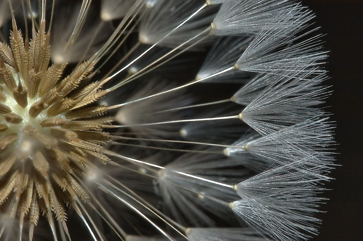 Seeds of dandelion in TAMU Horticultural Gardens...M University. College Station, Texas