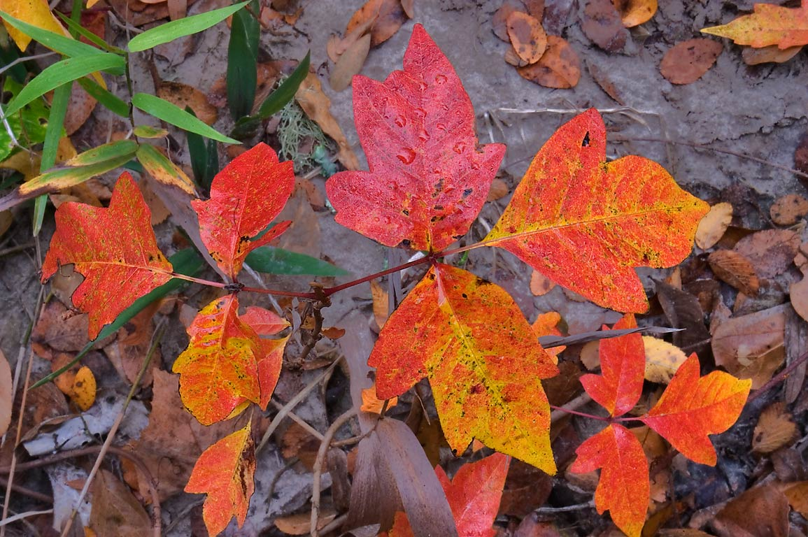 Red foliage of poison ivy near Lick Creek near...Creek Park. College Station, Texas