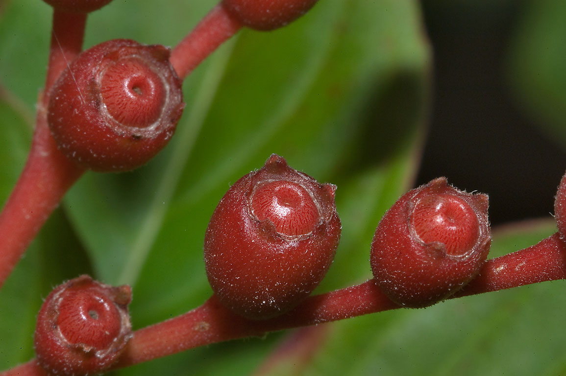 Fruits on firecracker bush (Hamelia patens) in...M University. College Station, Texas