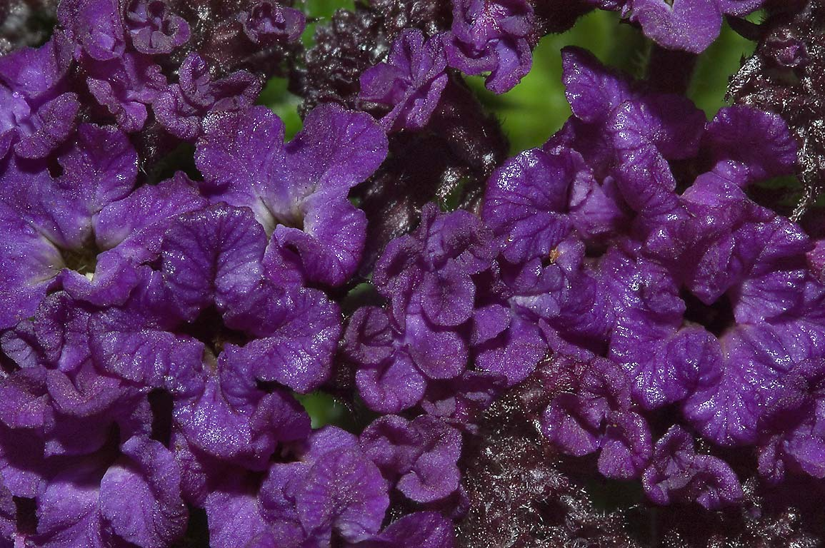 Purple Annual Flowers Search In Pictures