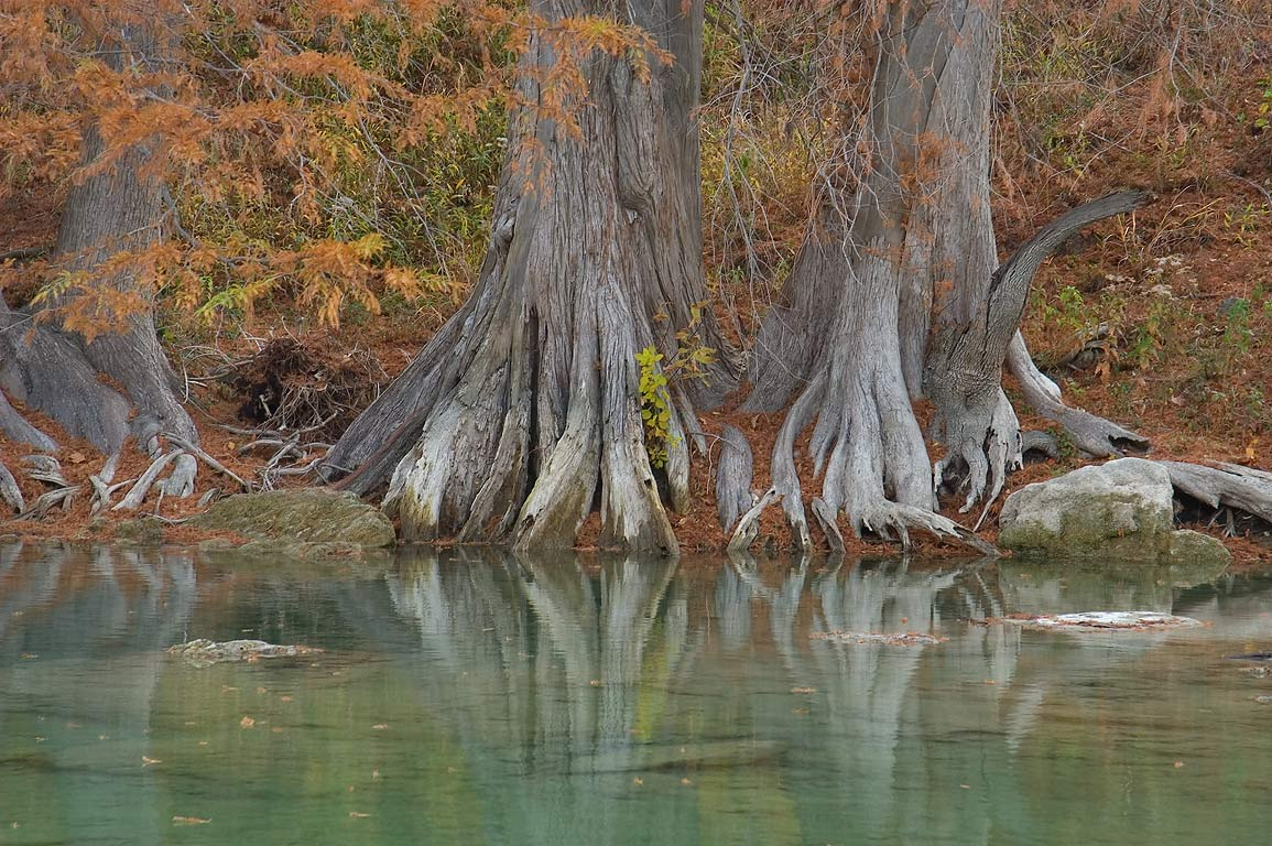 Bald cypress trees in Beach Area in Pedernales Falls State Park. Johnson City, Texas