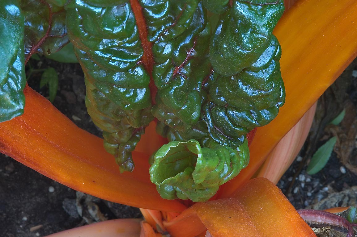 Glossy leaves and golden stems of Rainbow chard...M University. College Station, Texas