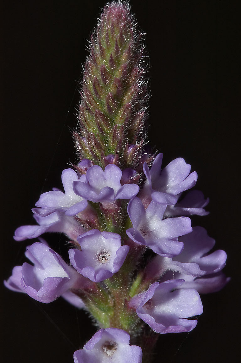 Vervain (verbena) flower near Horseshoe Lake in Brazos Bend State Park. Needville, Texas