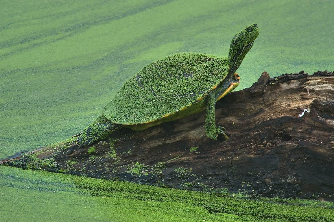 Turtle on a log covered by green duckweed on west...Bend State Park. Needville, Texas