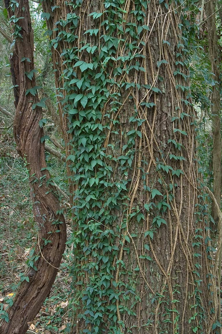 Vines on Hoots Hollow Trail in Brazos Bend State Park. Needville, Texas