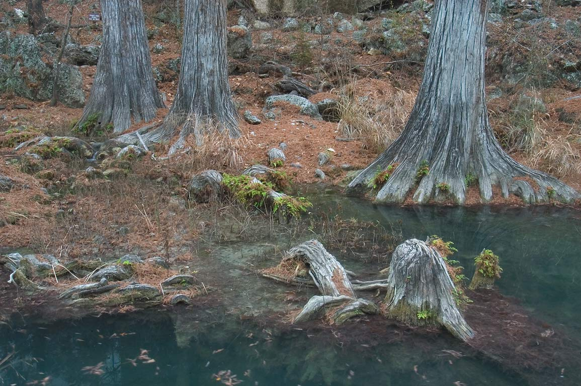 Cypress trees and roots in Hamilton Creek below...Pool Preserve. West from Austin, Texas