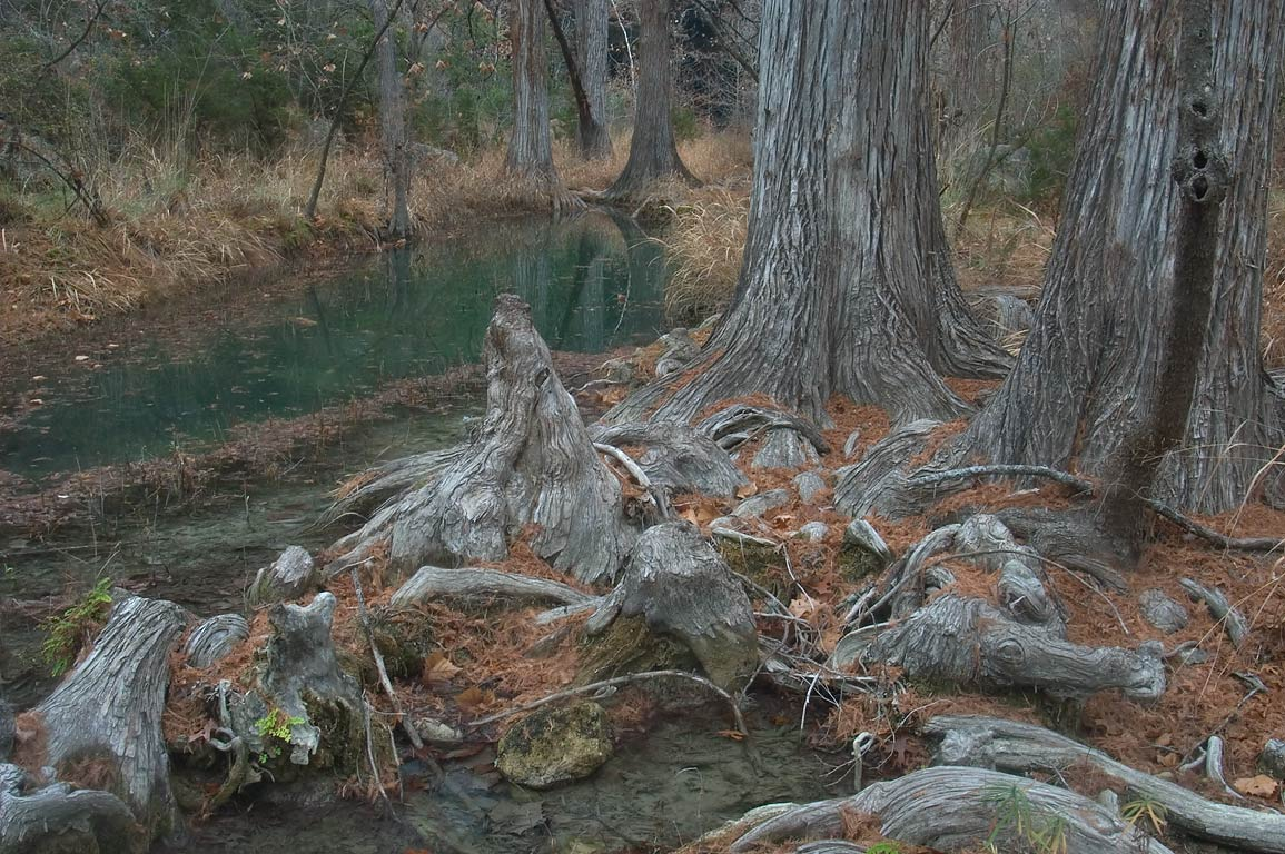 Cypress knees in Hamilton Creek below the...Pool Preserve. West from Austin, Texas
