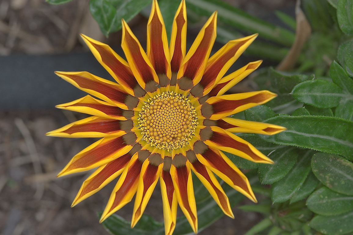 Gazania flower in TAMU Horticultural Gardens in...M University. College Station, Texas