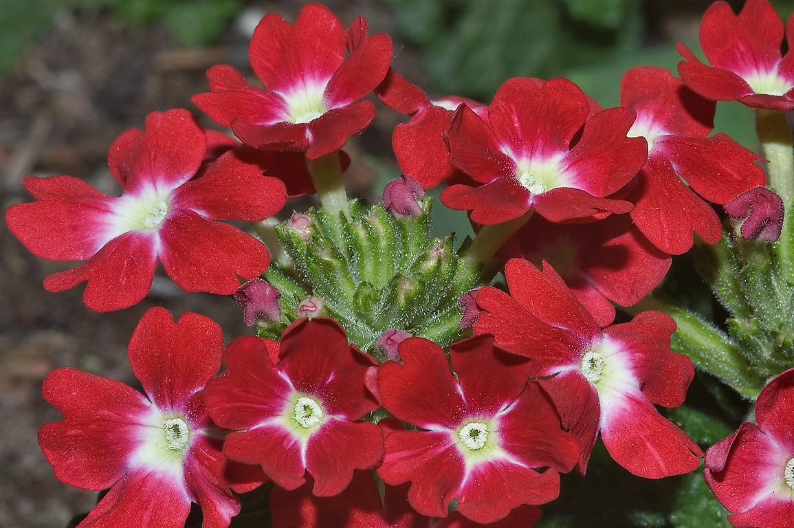 Red primula flowers in TAMU Holistic Garden in...M University. College Station, Texas