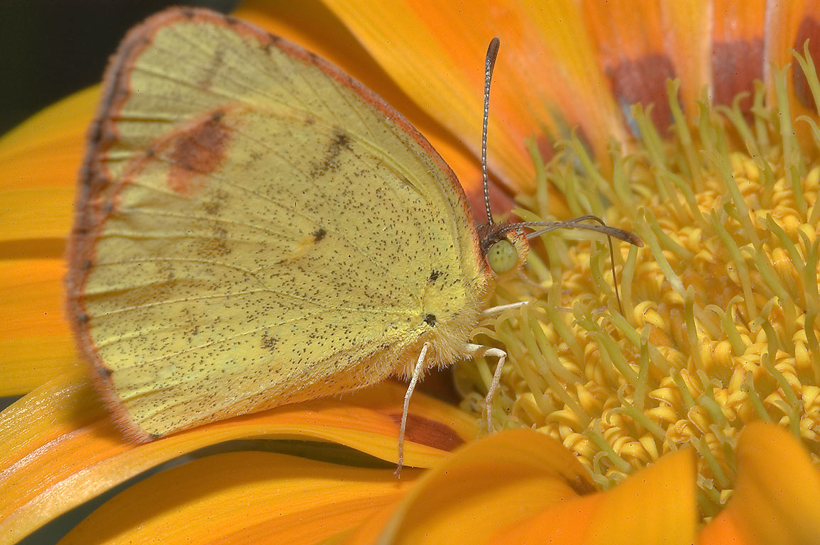 Little Yellow butterfly (Eurema lisa) on an...M University. College Station, Texas