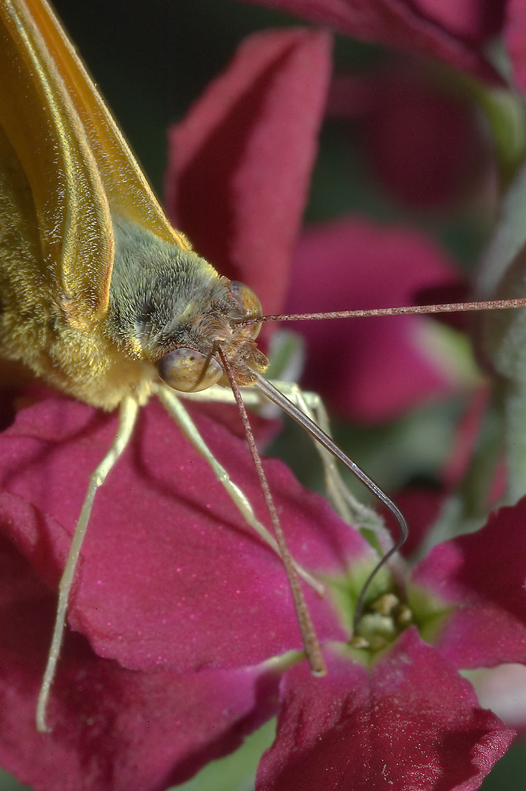 Close up of a yellow butterfly on maroon flowers...M University. College Station, Texas
