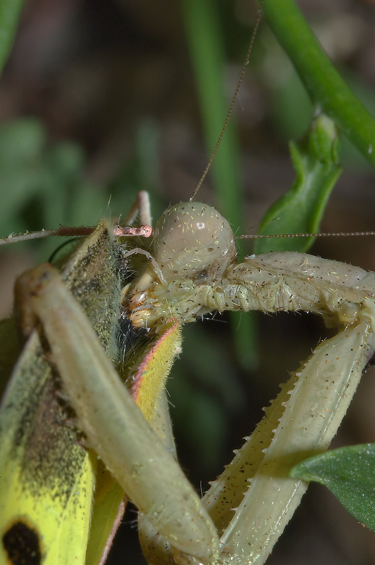 Praying mantid (Stagmomantis sp.) munching away a...M University. College Station, Texas