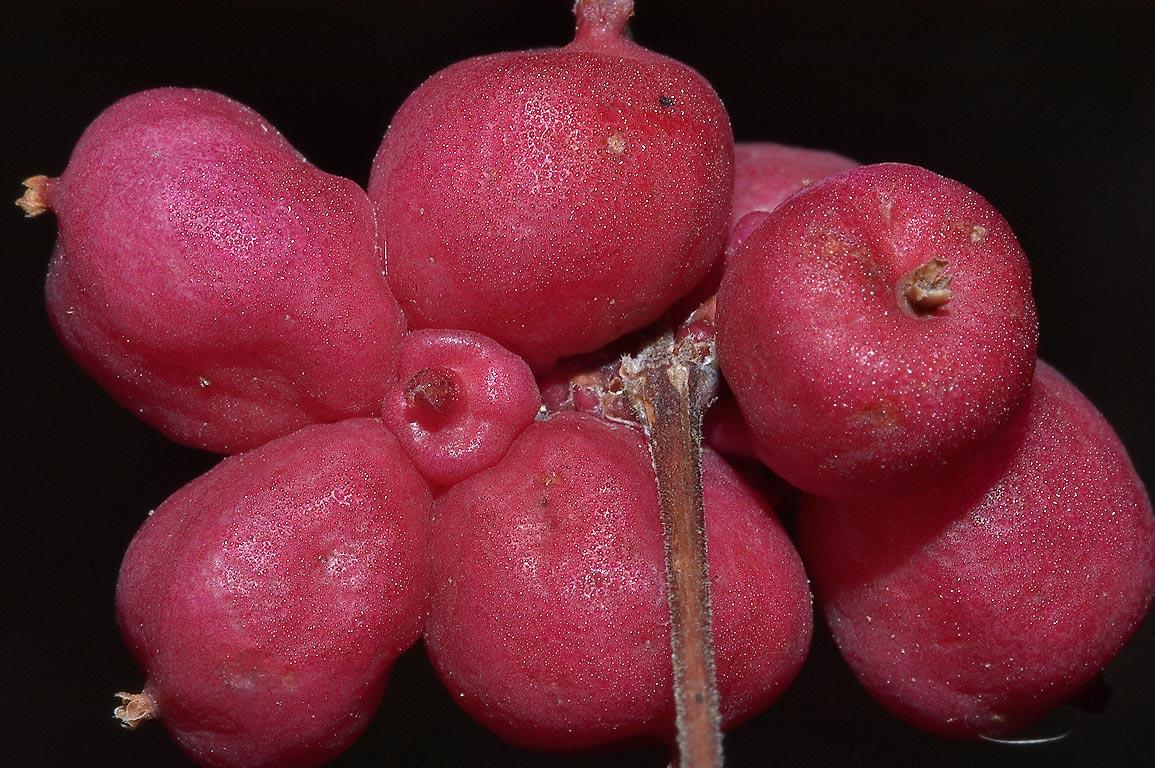 pink fruit dehydrating fruit