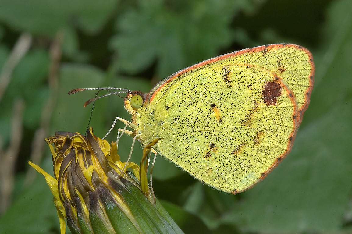 Little Yellow butterfly (Eurema lisa) on a flower...M University. College Station, Texas
