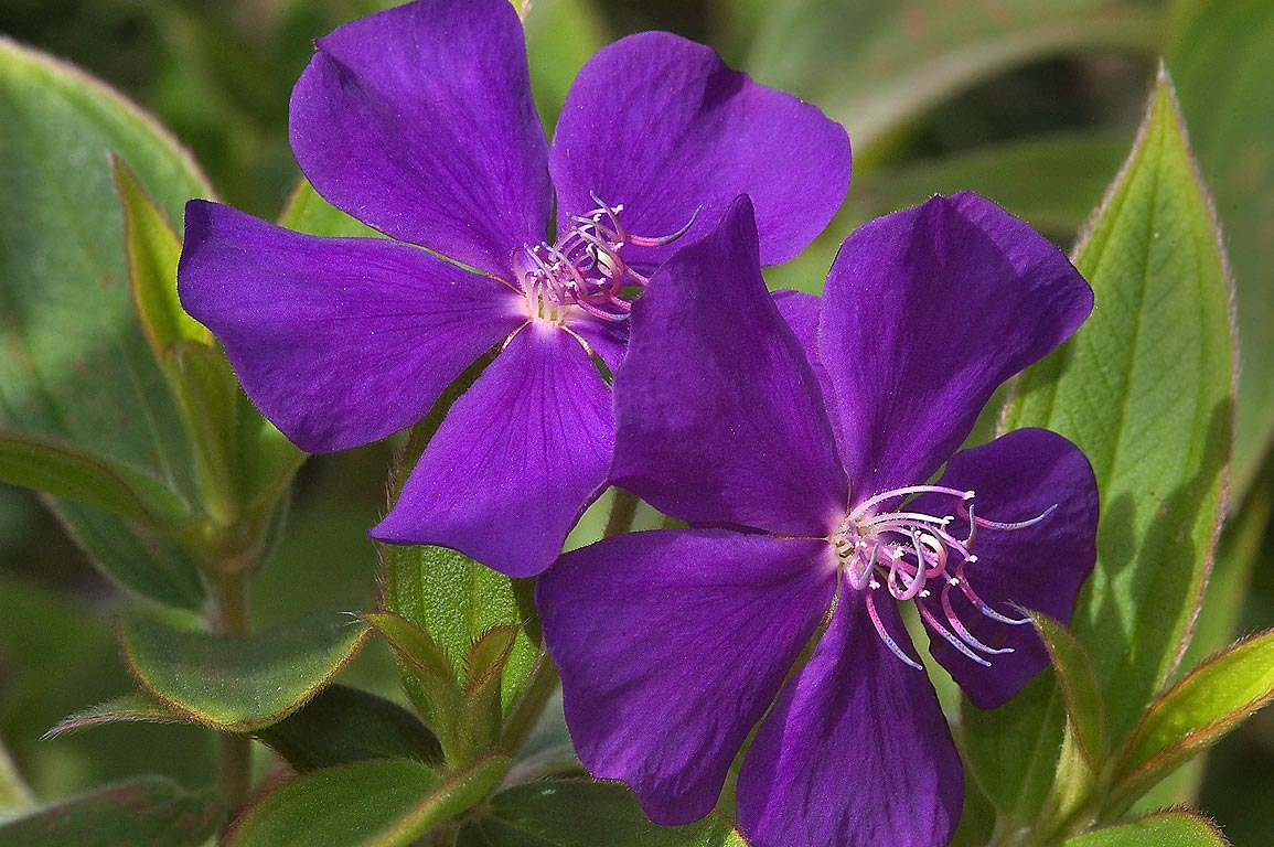 Princess flower (Tibouchina urvilleana) in Mercer...Gardens. Humble (Houston area), Texas