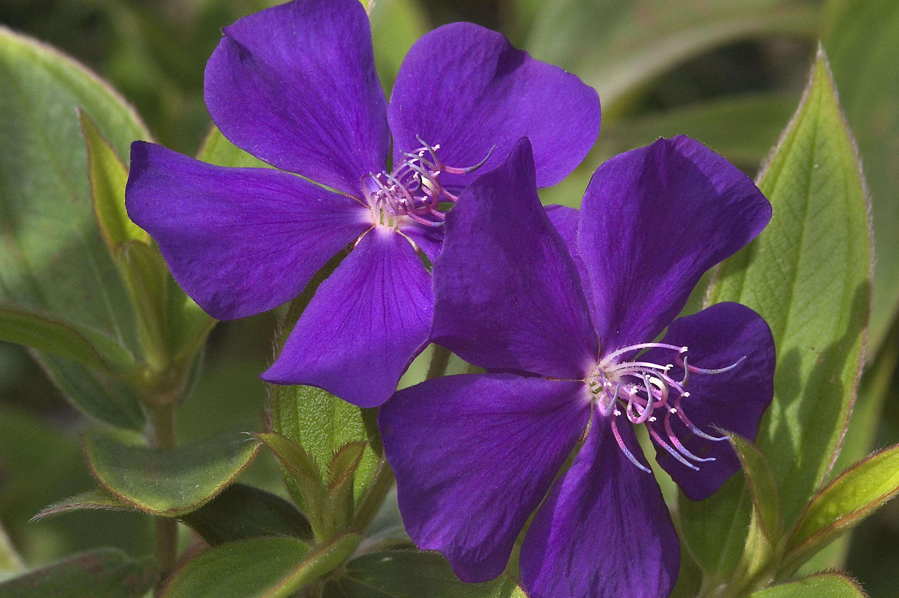 699 21 Princess flower Tibouchina urvilleana in Mercer Gardens Hu