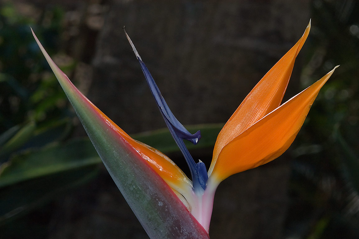 Bird-of-paradise (crane flower, Strelitzia...Gardens. Humble (Houston area), Texas