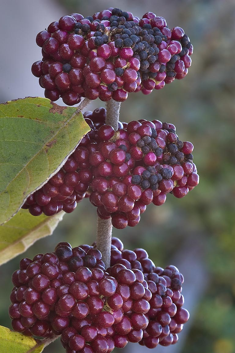 Beautyberry damaged by frost in TAMU Holistic...M University. College Station, Texas