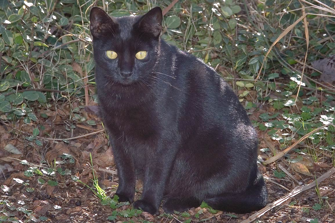 Black feral cat in TAMU Holistic Garden in Texas...M University. College Station, Texas