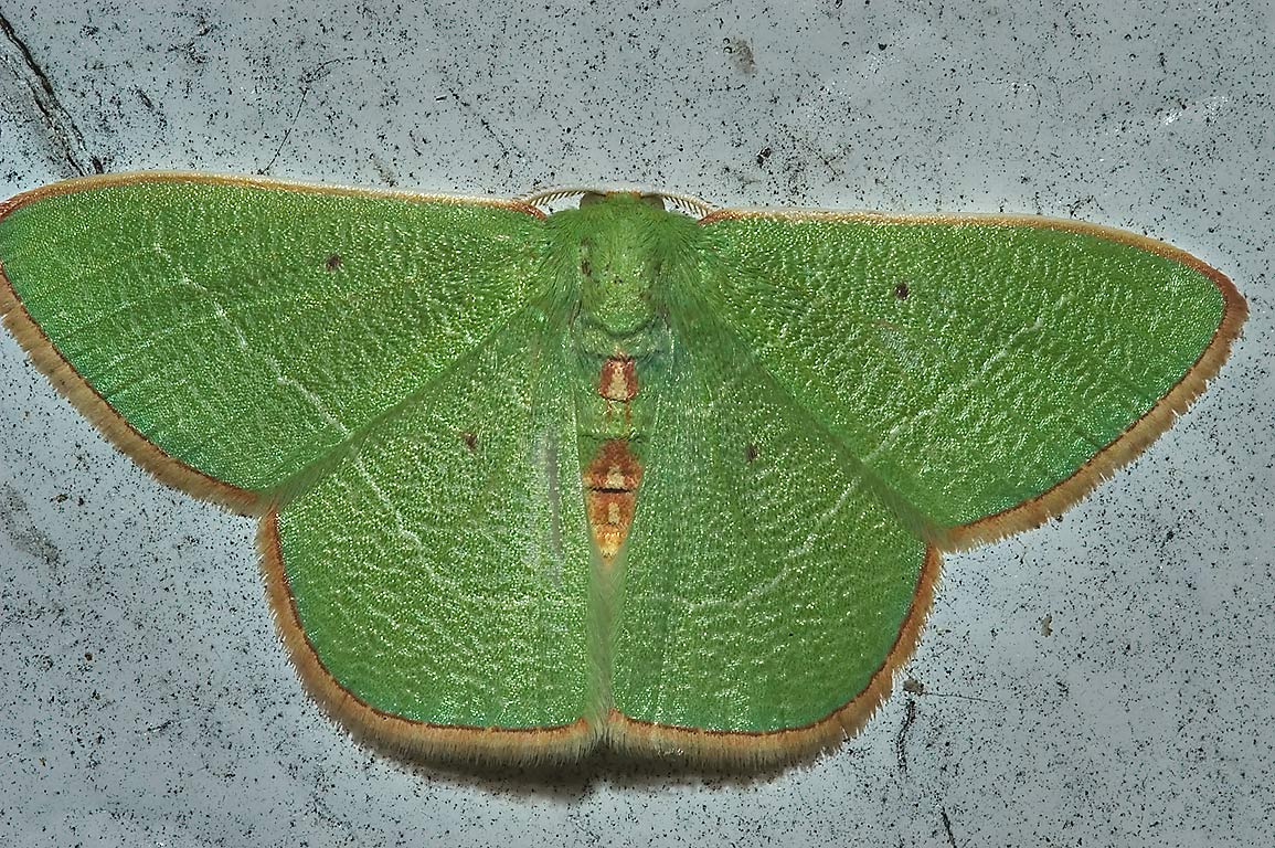 Green Emerald Geometrid moth Nemoria on a door of...Bush Dr.. College Station, Texas