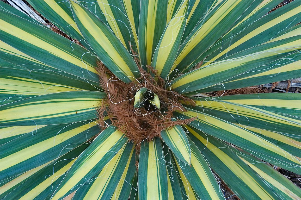 Rosette of leaves of Color Guard Yucca (Yucca...M University. College Station, Texas