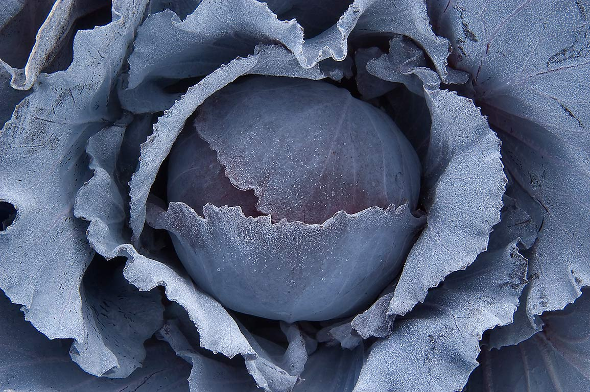 Blue cabbage head in TAMU Horticultural Gardens...M University. College Station, Texas