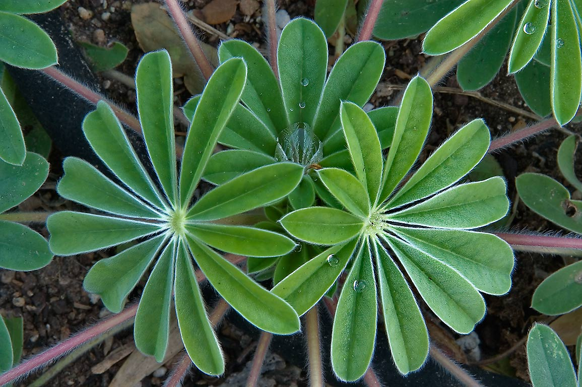 Palmately compound lupin leaves in TAMU Holistic...M University. College Station, Texas