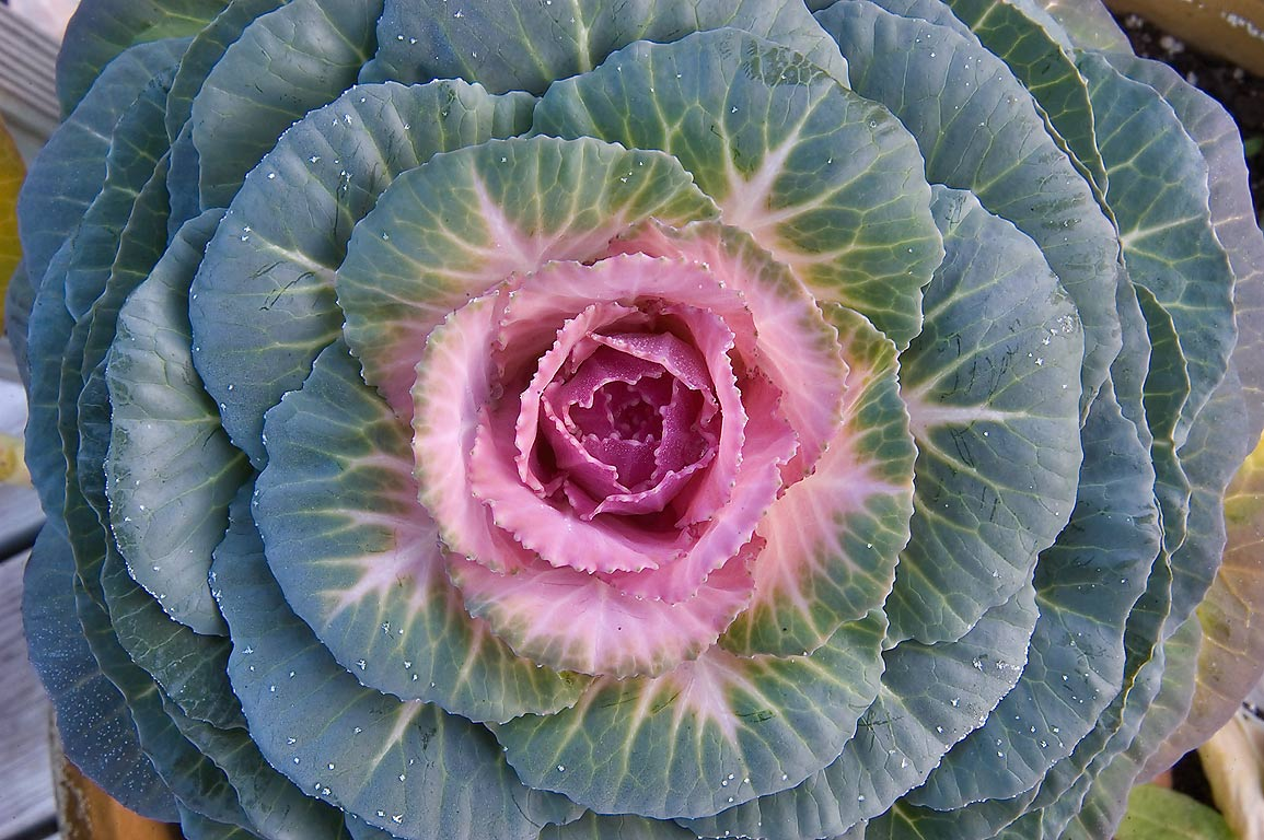 Rosette of pink and green cabbage leaves in TAMU...M University. College Station, Texas