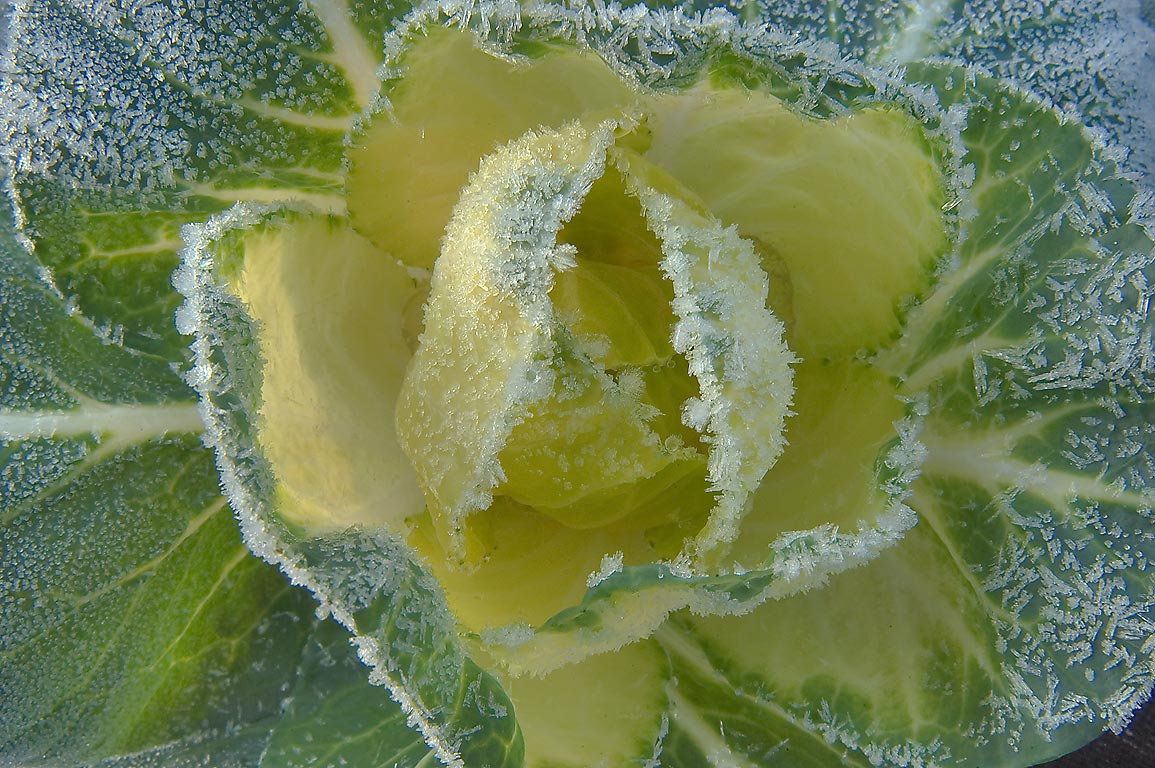 Frosted yellow and green cabbage head in TAMU...M University. College Station, Texas