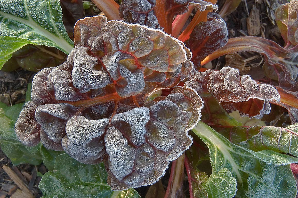 Frosted rainbow chard (beet) leaves in TAMU...M University. College Station, Texas