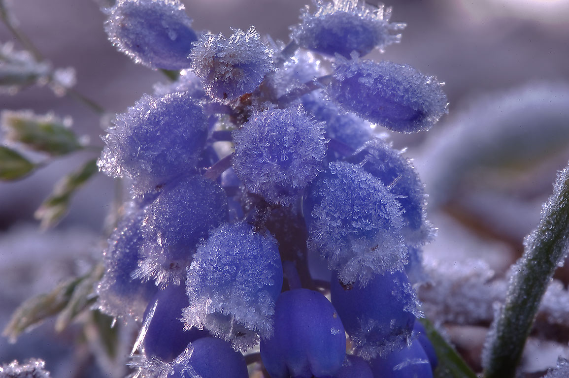 Morning freeze on grape hyacinth (Muscari) in...M University. College Station, Texas