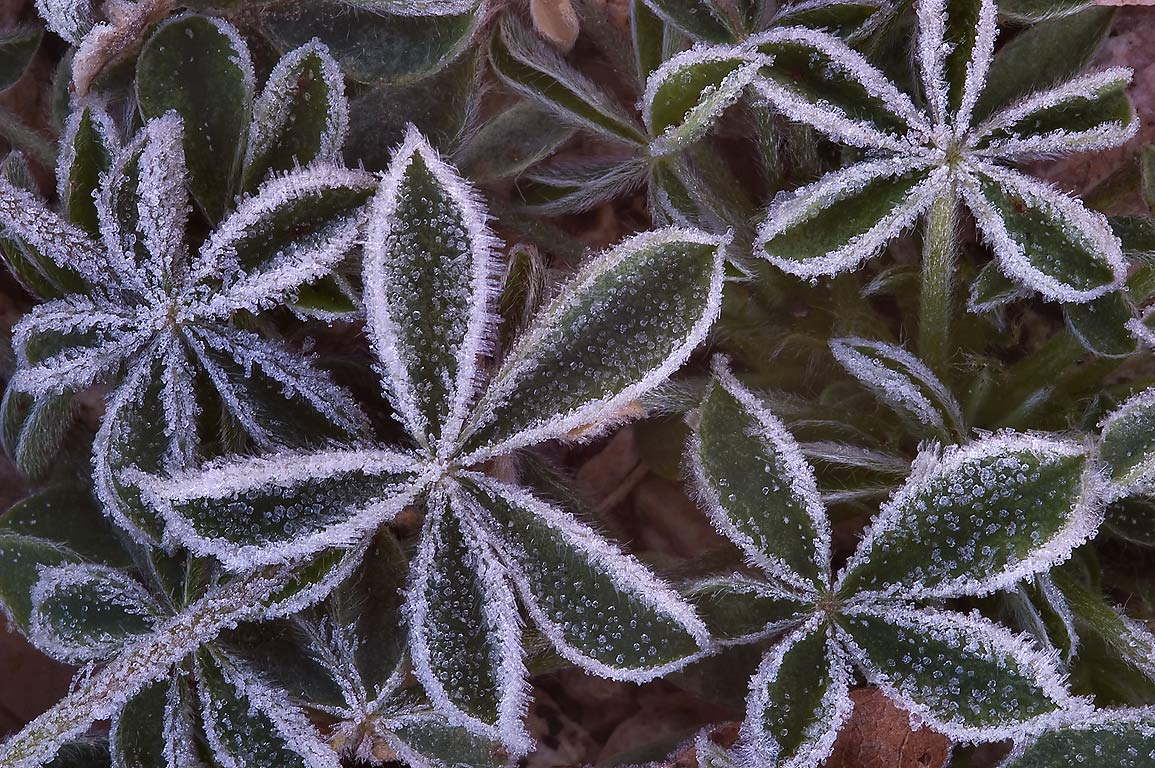 Morning freeze on palmately compound lupin leaves...M University. College Station, Texas