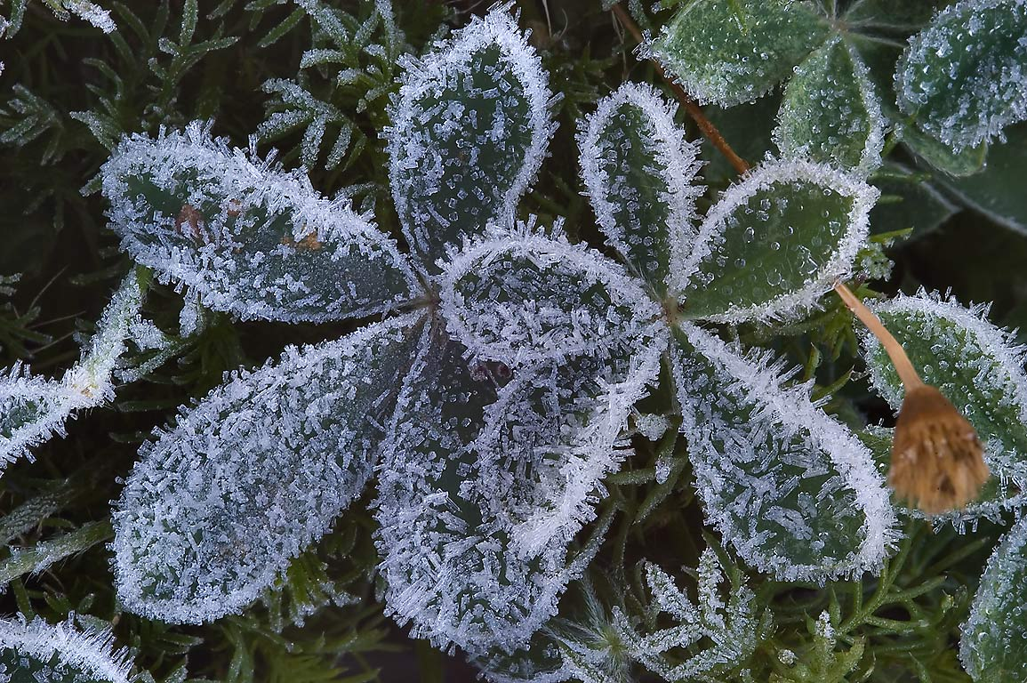 Ice crystals on palmately compound bluebonnet...M University. College Station, Texas
