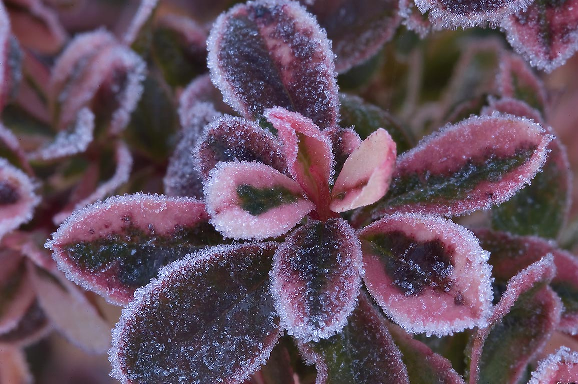 Morning freeze on Chinese Pittosporum...M University. College Station, Texas