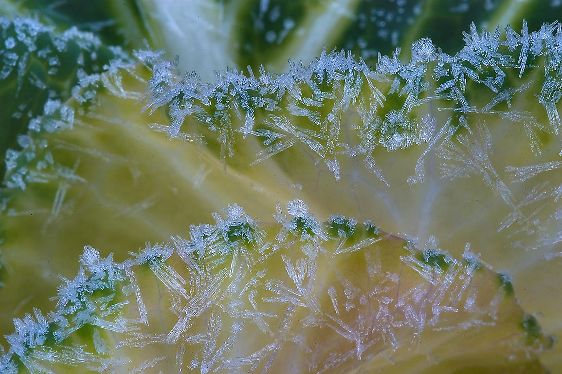 Morning freeze on edges of cabbage leaves in TAMU...M University. College Station, Texas