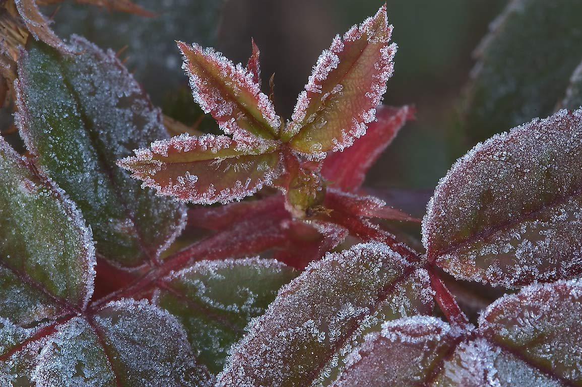 Morning freeze on rose leaves in TAMU...M University. College Station, Texas