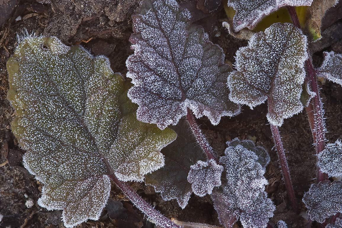 Morning freeze on rosette of leaves of sage...M University. College Station, Texas